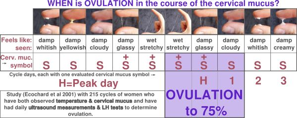 When is ovulation - cervical mucus