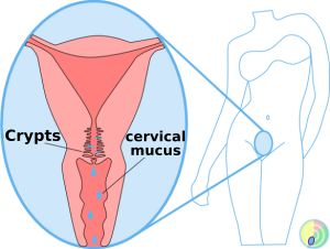 cervical mucus cryps